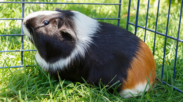 supervise guinea pigs outdoors