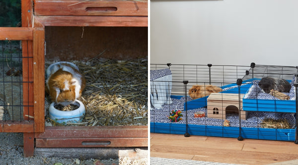 keeping guinea pigs indoors vs outdoors
