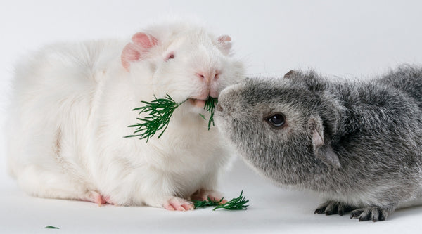 dominance issues can cause fighting in guinea pigs