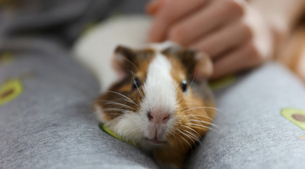 Illness can cause fighting in guinea pigs