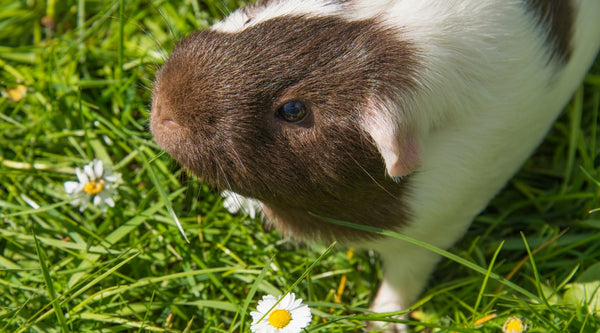 safe plants for guinea pigs to eat
