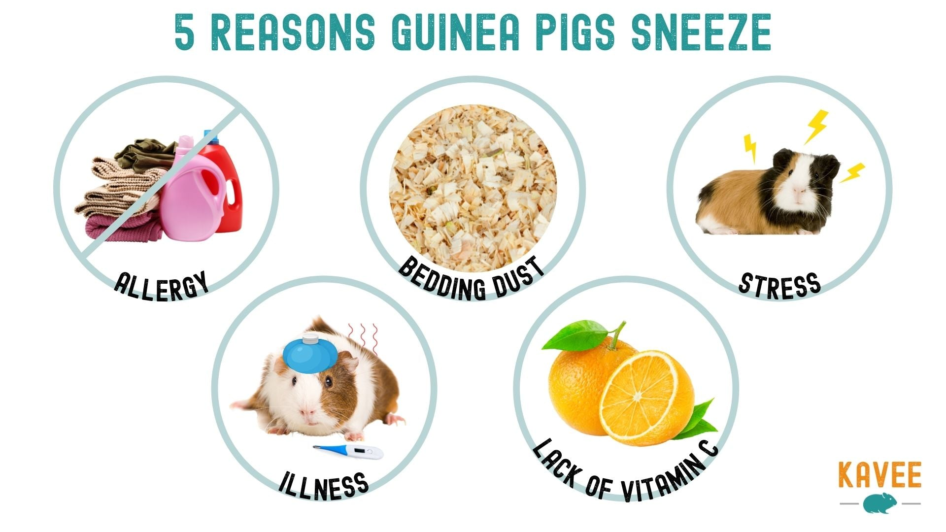 guinea pigs can sneeze because of allergies bedding illness stress dust stress illness and lack of vitamin c