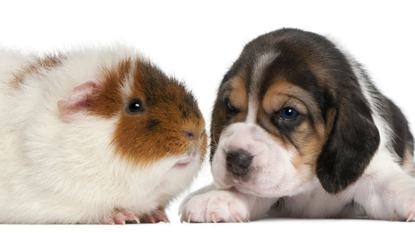 guinea pig bonding with a puppy dog on white background