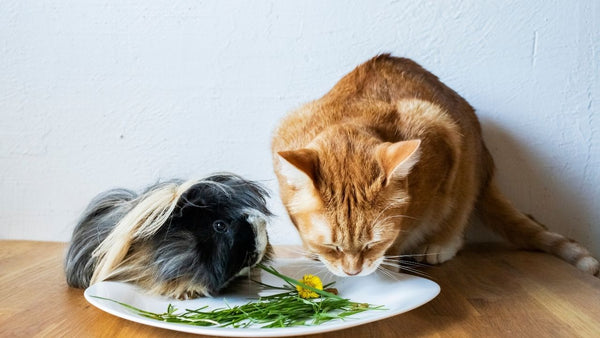 guinea pig and cat sharing a plate of food on a wooden table