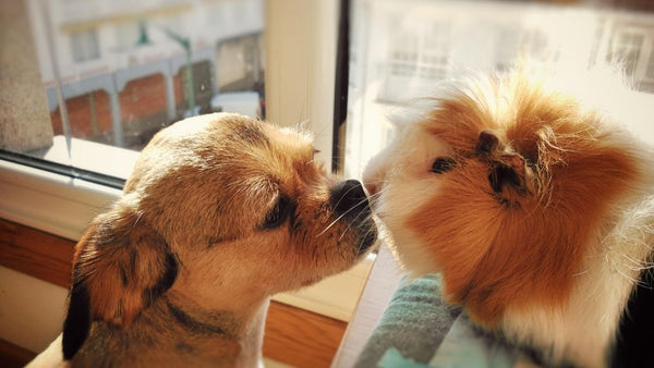 guinea pig sat on table while dog is on floor sniffing their scent for introductions