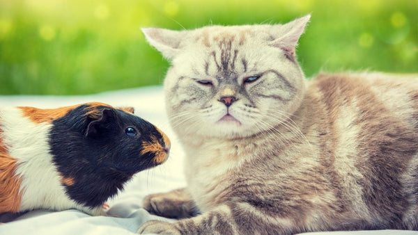 tricoloured guinea pig sat with grey cat outside on a white blanket