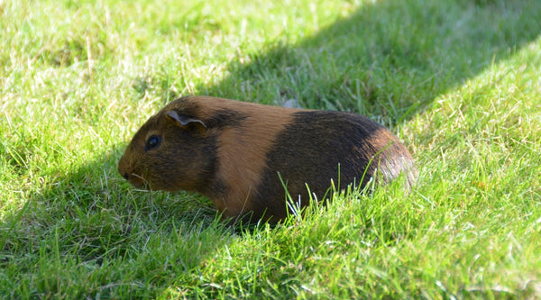 provide shade for your guinea pigs outside