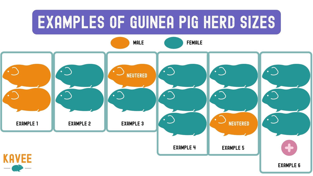 how many guinea pigs should I get? examples of herd sizes of guinea pigs males and females boars and sows