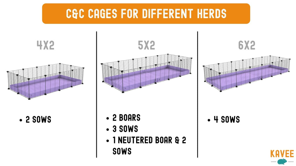 examples of C&C cage sizes for 2 guinea pigs 3 guinea pigs 4 guinea pigs boars and sows