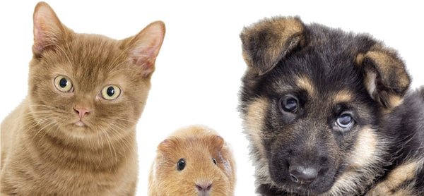 cat guinea pig and dog sitting together on white background