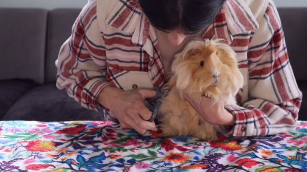 guide to trimming your guinea pigs nails