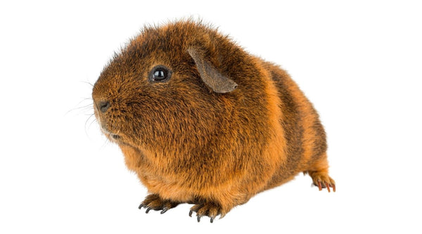 ensure that you check your guinea pig for bumble foot