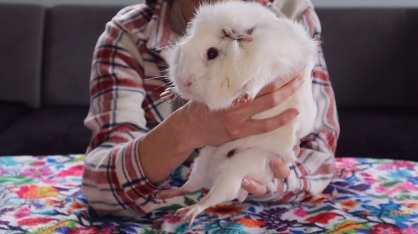 trimming your guinea pigs nails tutorial