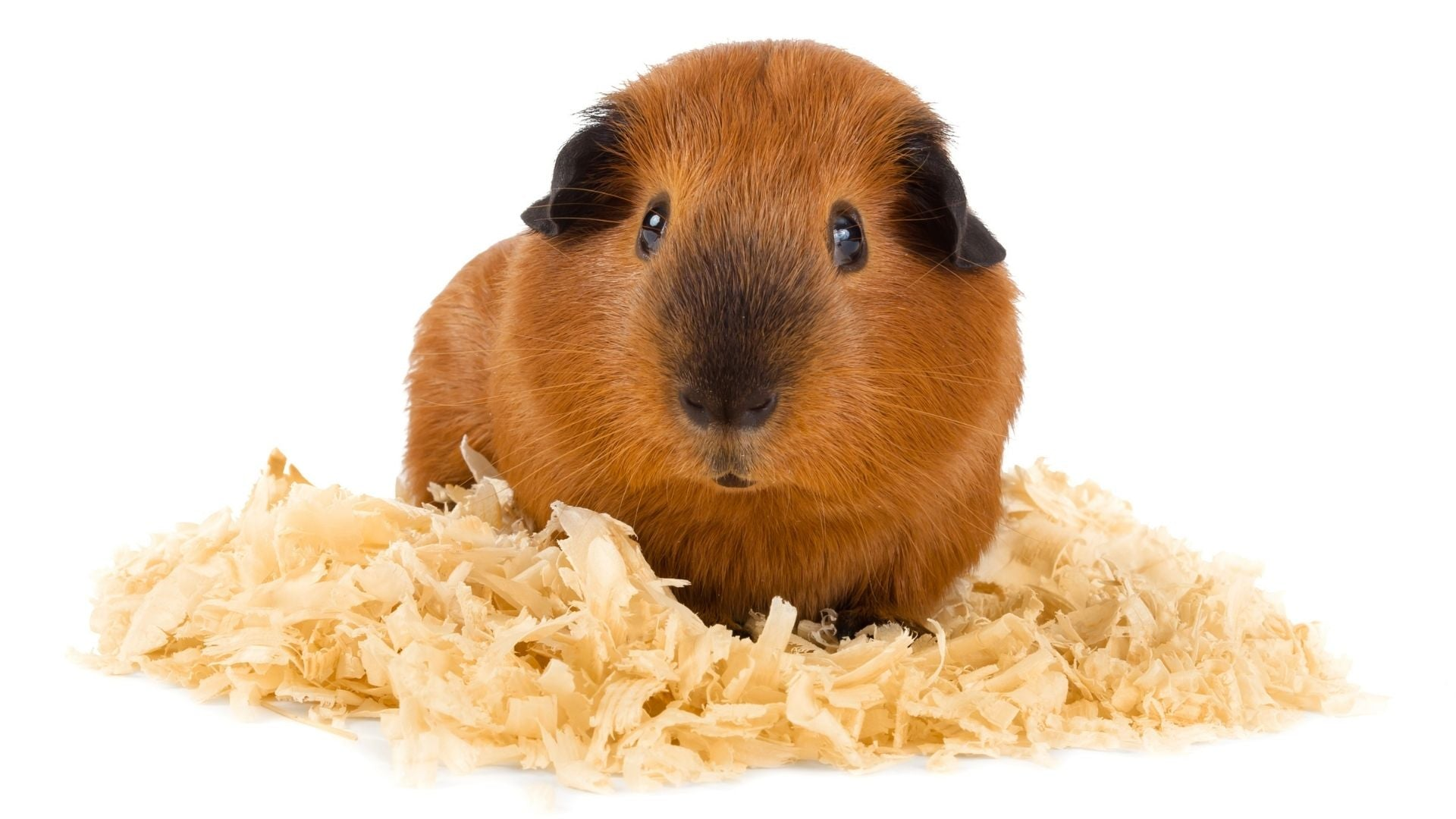 ginger guinea pig with black ears and face sat on wood shavings on white background allergies