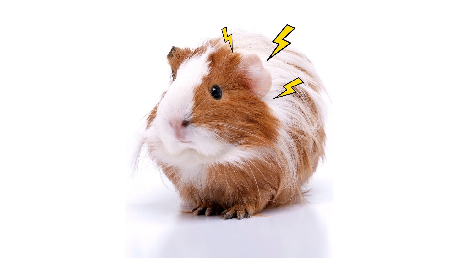white and ginger long haired guinea pig on white background stress stressed