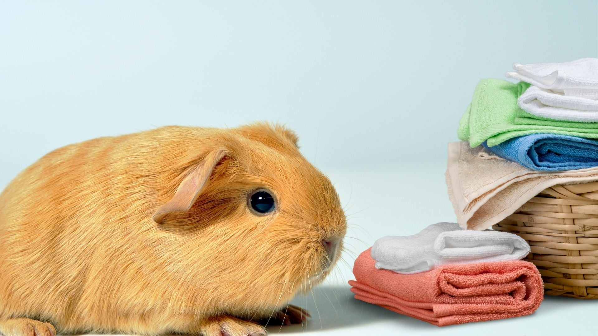 golden haired guinea pig sitting next to laundry basket on blue background