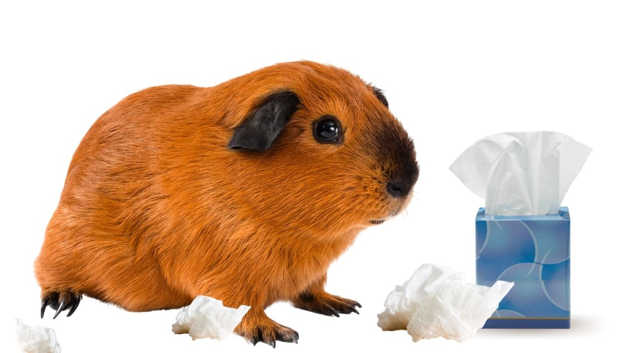 ginger guinea pig sneezing with white tissues and blue tissue box on white background