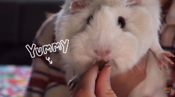 reward your guinea pig after trimming their nails