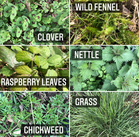 foraging for guinea pigs rabbits wild herbs plants