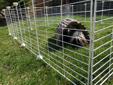 guinea pigs outside C&C cage run pen playpen sunny day can eat grass
