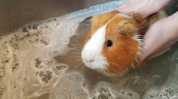 guinea pig sitting in sink having a bath tips for piggy parents