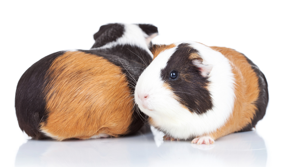 what is the right guinea pig herd size for me? males vs females boars and sows