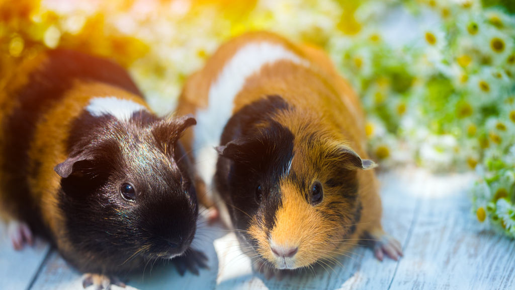 Can males and female guinea pigs live together? two guinea pigs sitting together outside