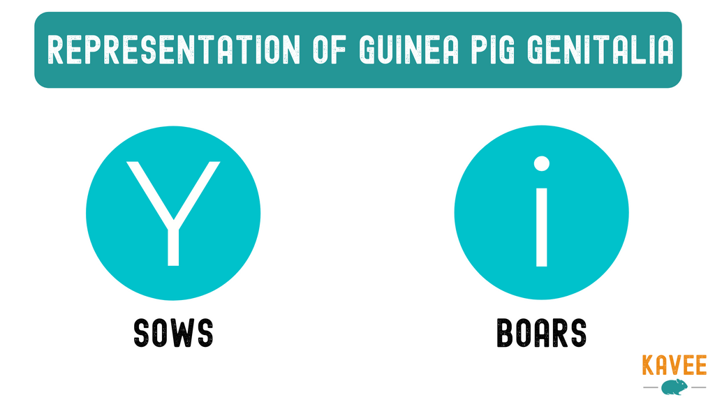 How to tell male and female guinea pigs apart? Boars and sows anatomy difference infographic