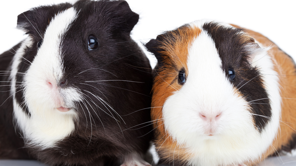 can I add a neutered boar to my herd of female guinea pig sows? guinea pig herd size advice two guinea pigs sitting together