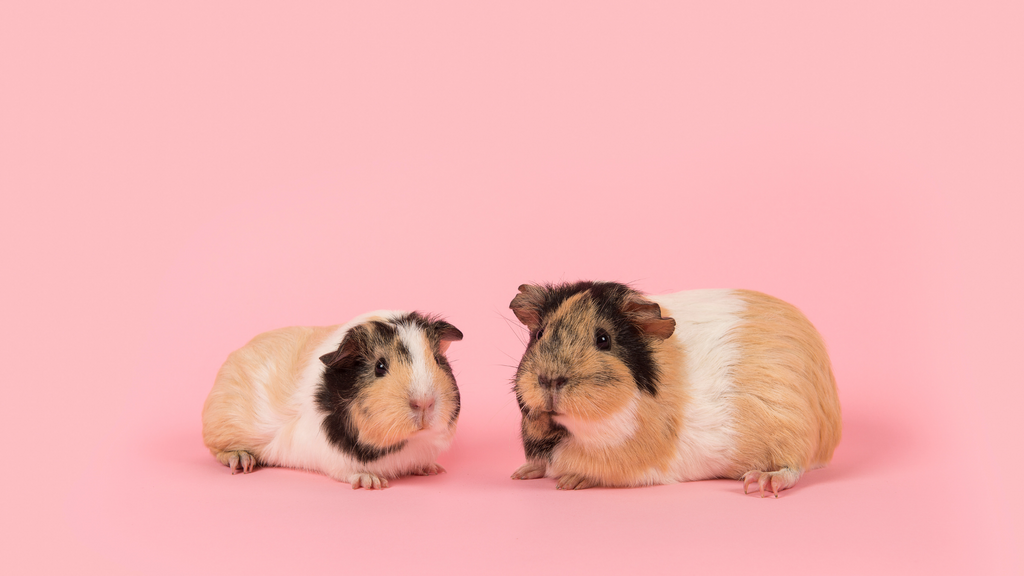 can male and female guinea pigs have supervised playtime together? Boars and sows