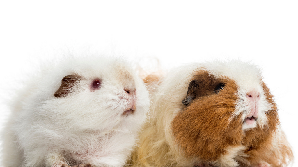 What are the main differences between boars and sows? male and female guinea pig sitting next to each other on white background