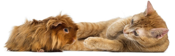 will my cat eat my guinea pig ginger red guinea pig sitting near a ginger orange cat laying down on white background