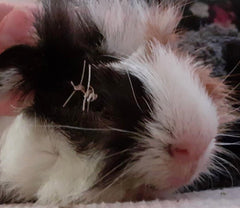 guinea pig eye surgery eye removal stitches post surgery