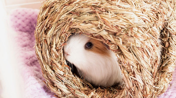 long hair guinea pig sat inside a hay woven hidey on lilac fleece liner in a white C&C cage