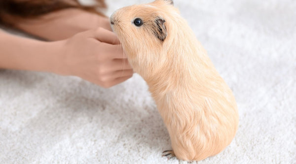 find the perfect spot indoors or outdoors for guinea pig floor time