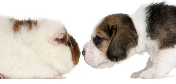 guinea pig and puppy dog touching noses on white background