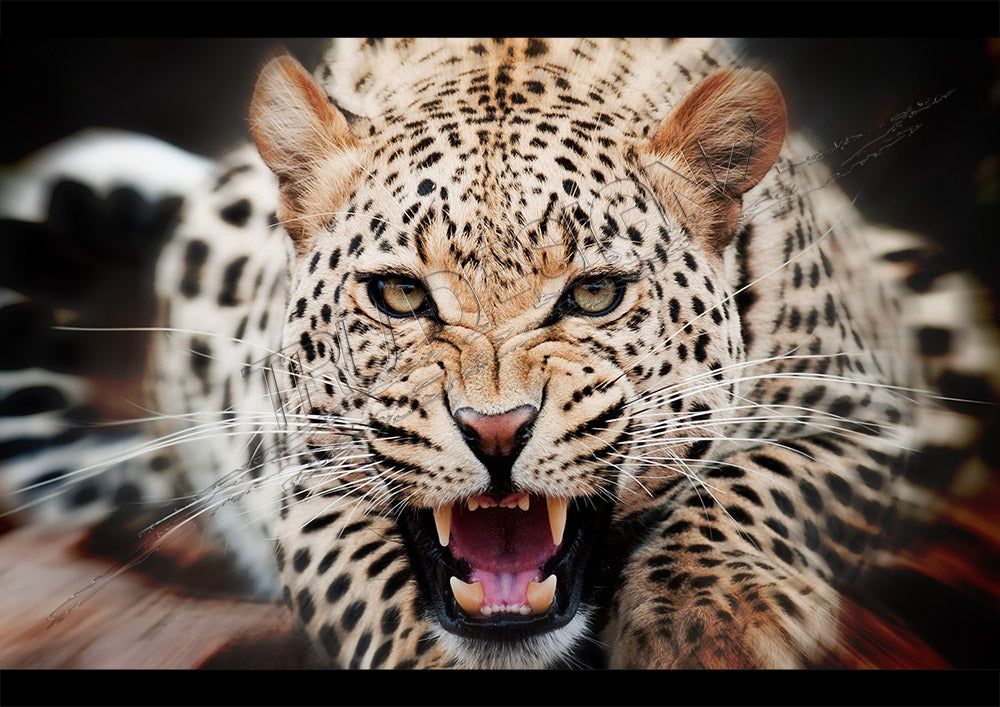 Ferocious Wild Attacking Leopard Poster