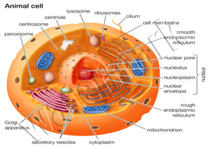 Animal Cell Diagram Anatomy Science Poster