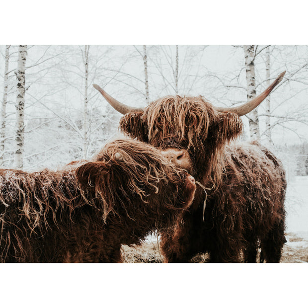 Highland Cows, Finland By Peggy Saas