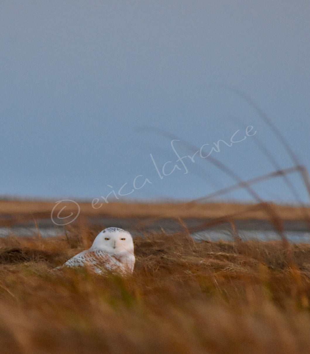 Snowy Owl on the Bay Print