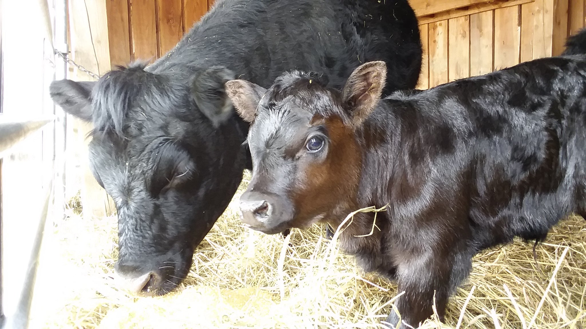 Baby calf Dotti hogs the maternity ward