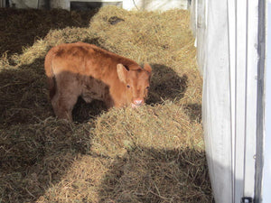Our First Calf