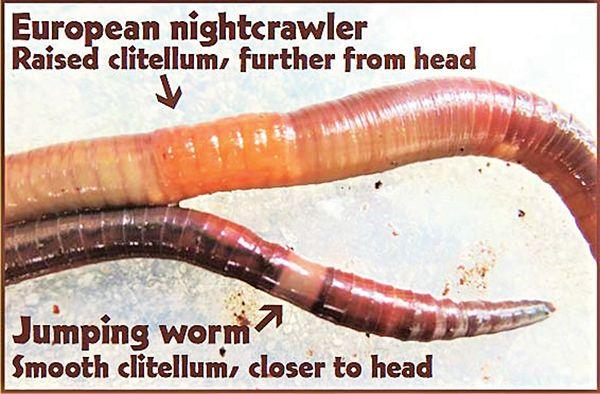 Are Jumping Worms Hiding in Your Mulch?