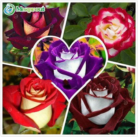 Assorted Rare Rose Seeds Perennial Flowers