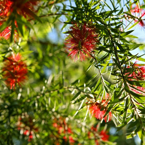 Bottlebrush Tree (Red Cluster) - Callistemon rigidus