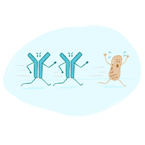 Immune antibodies chasing after a peanut
