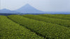 An organic matcha tea field in Kagoshima, Japan