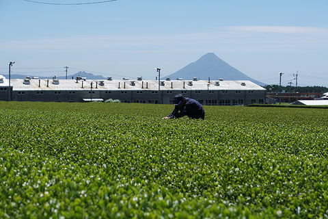 A farmer works in the lush, green tea field of Ikeda Matcha, an environmentally conscious tea brand.