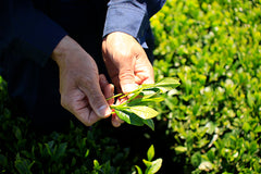Green tea leaves in hands of farmer in green tea field
