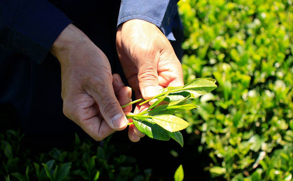 hands holding freshly picked green tea leaves